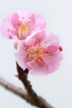 五ヶ瀬川(河津桜・菜の花)